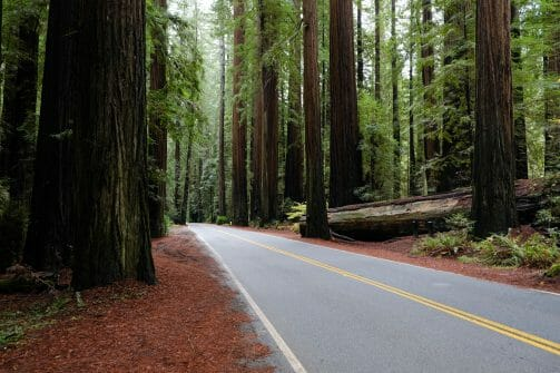redwood trees california