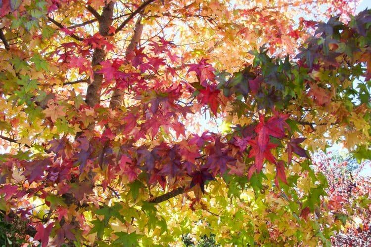 petaluma california fall leaves