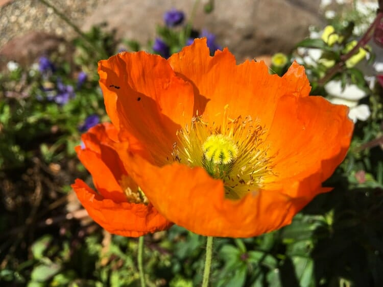 california poppy manhattan beach botanical garden