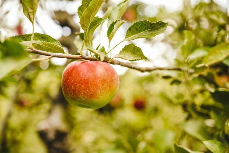 apple tree california